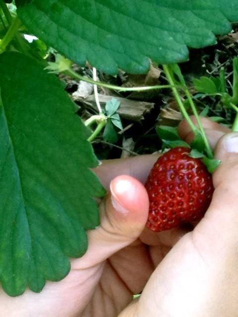 fraises_orgères